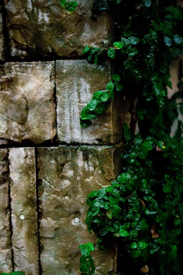 壁を這うツタ(雨)の写真