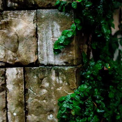「壁を這うツタ(雨)」の写真素材