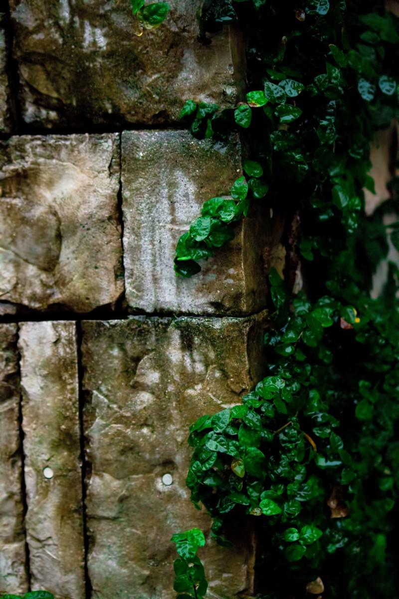 「壁を這うツタ(雨)」の写真