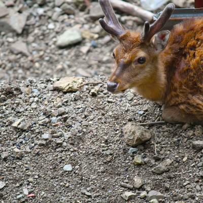 「寂しげな顔の鹿」の写真素材
