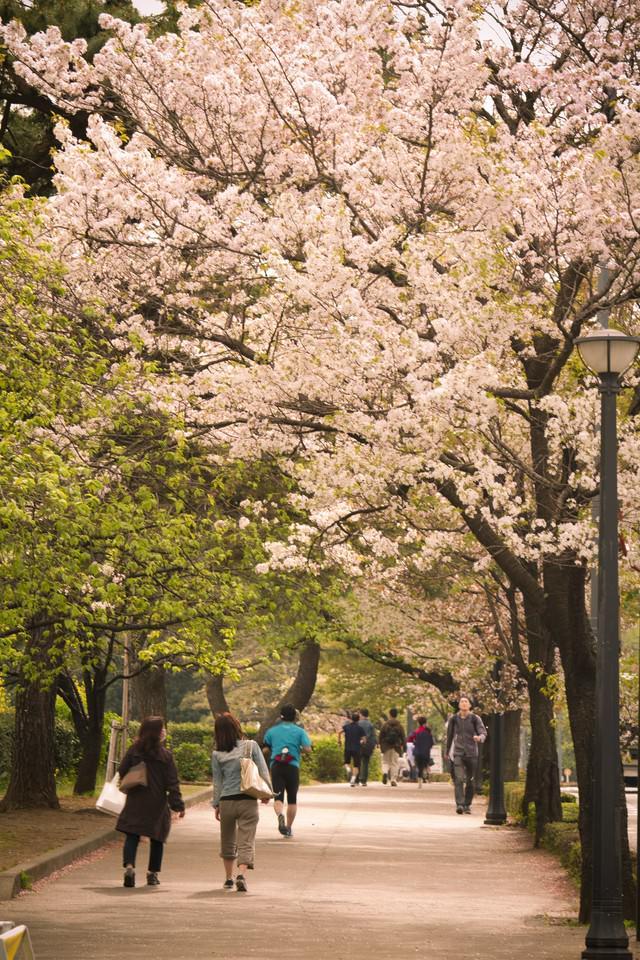 皇居の桜並木の写真