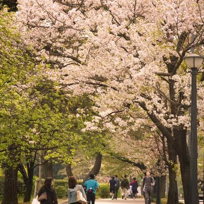 「皇居の桜並木」の写真素材