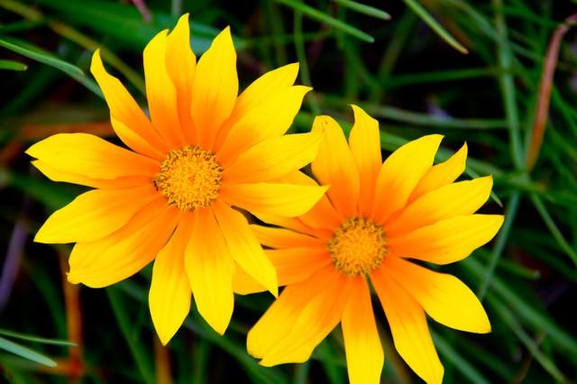 太陽の黄色い花の写真