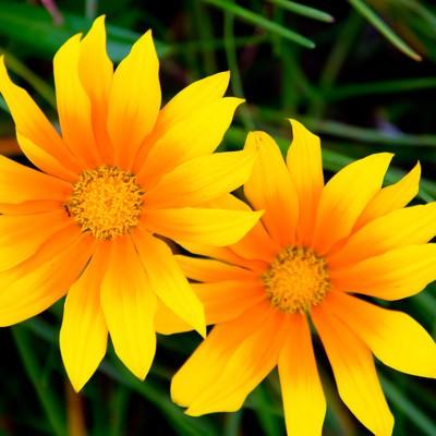 「太陽の黄色い花」の写真素材