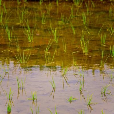 「田植えされた稲」の写真素材