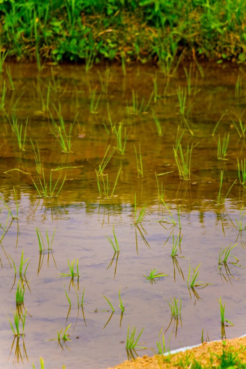 「田植えされた稲田植えされた稲」のフリー写真素材を拡大