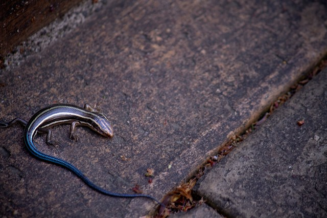 尻尾が青いトカゲの写真