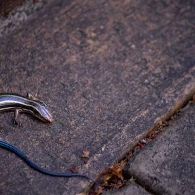 「尻尾が青いトカゲ」の写真素材