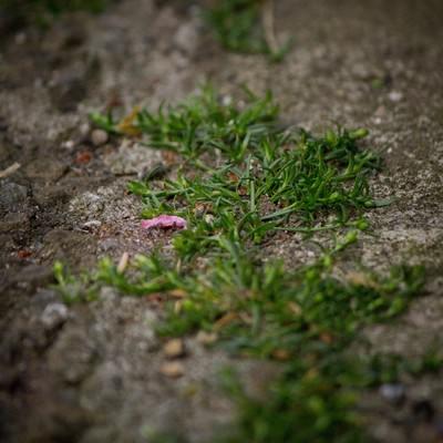 道端の雑草と花びらの写真