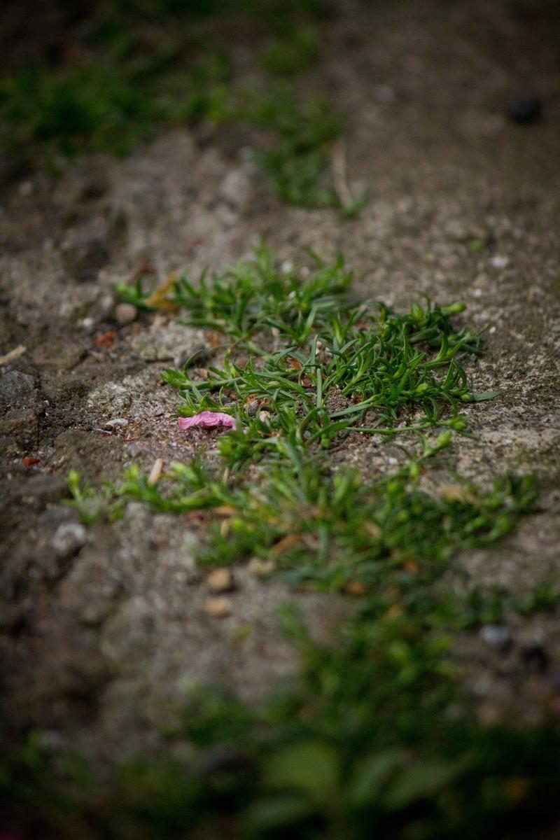 「道端の雑草と花びら」の写真