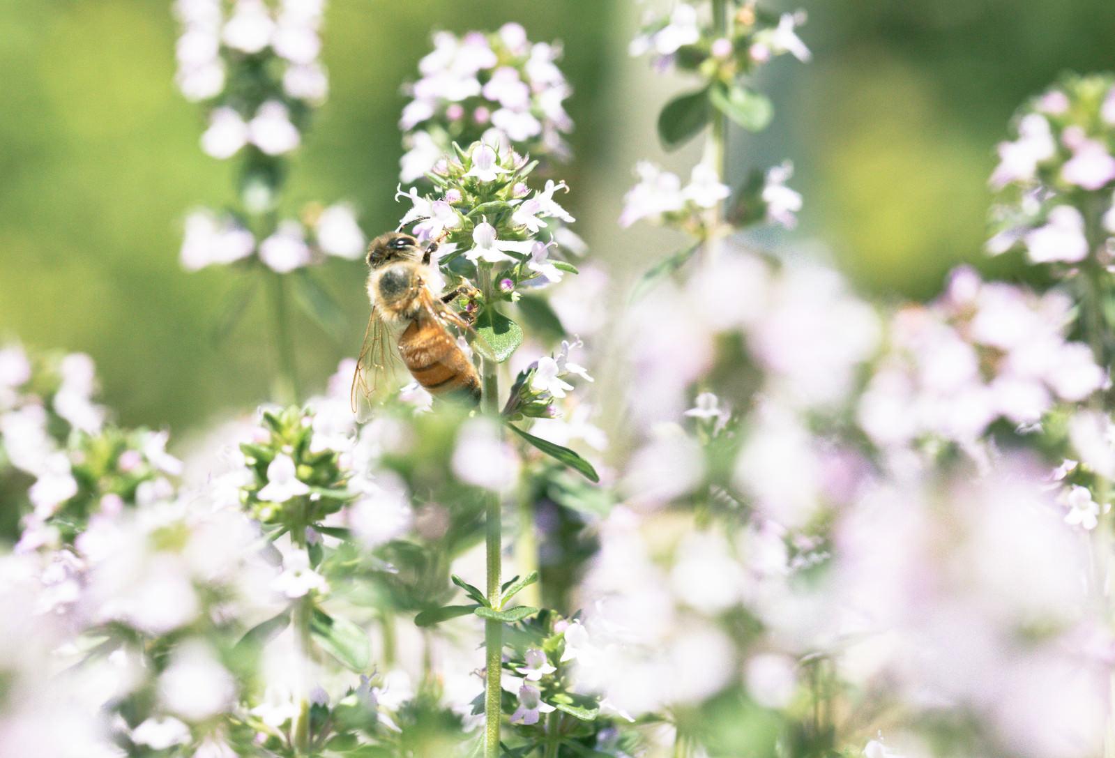 「花の蜜を採るミツバチ」の写真