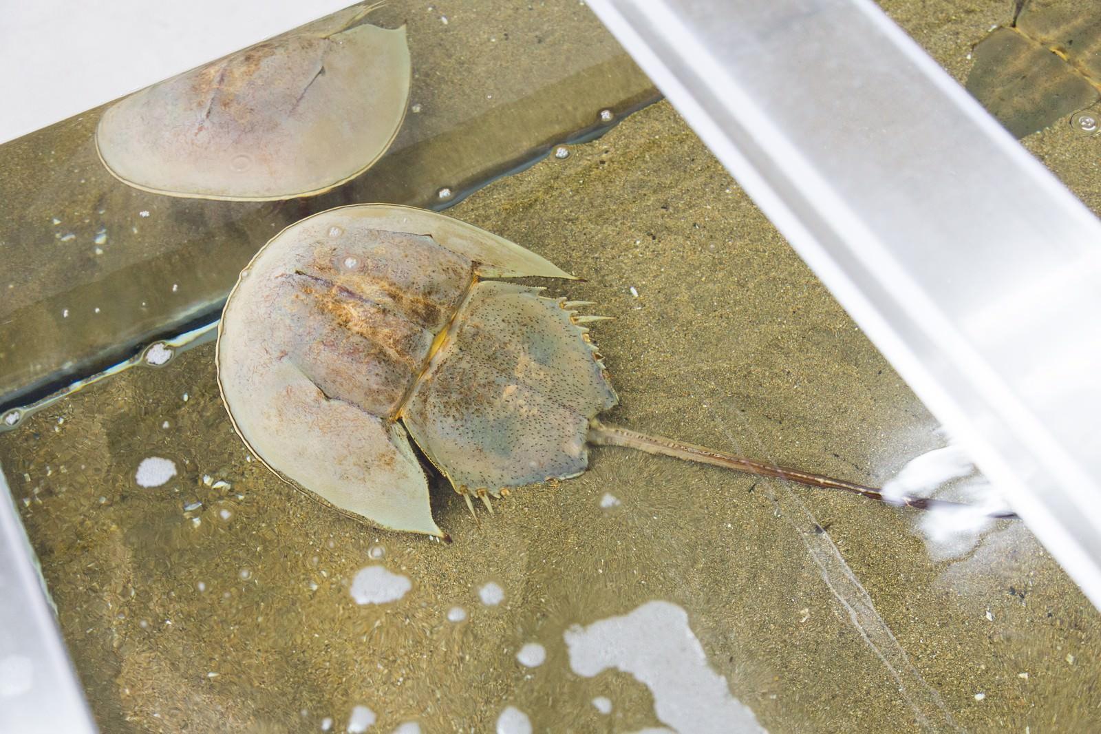 「伊万里湾のカブトガニ(飼育室)」の写真