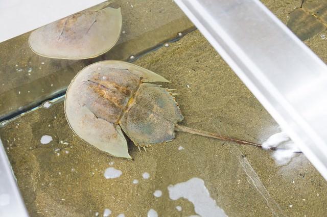 伊万里湾のカブトガニ(飼育室)の写真