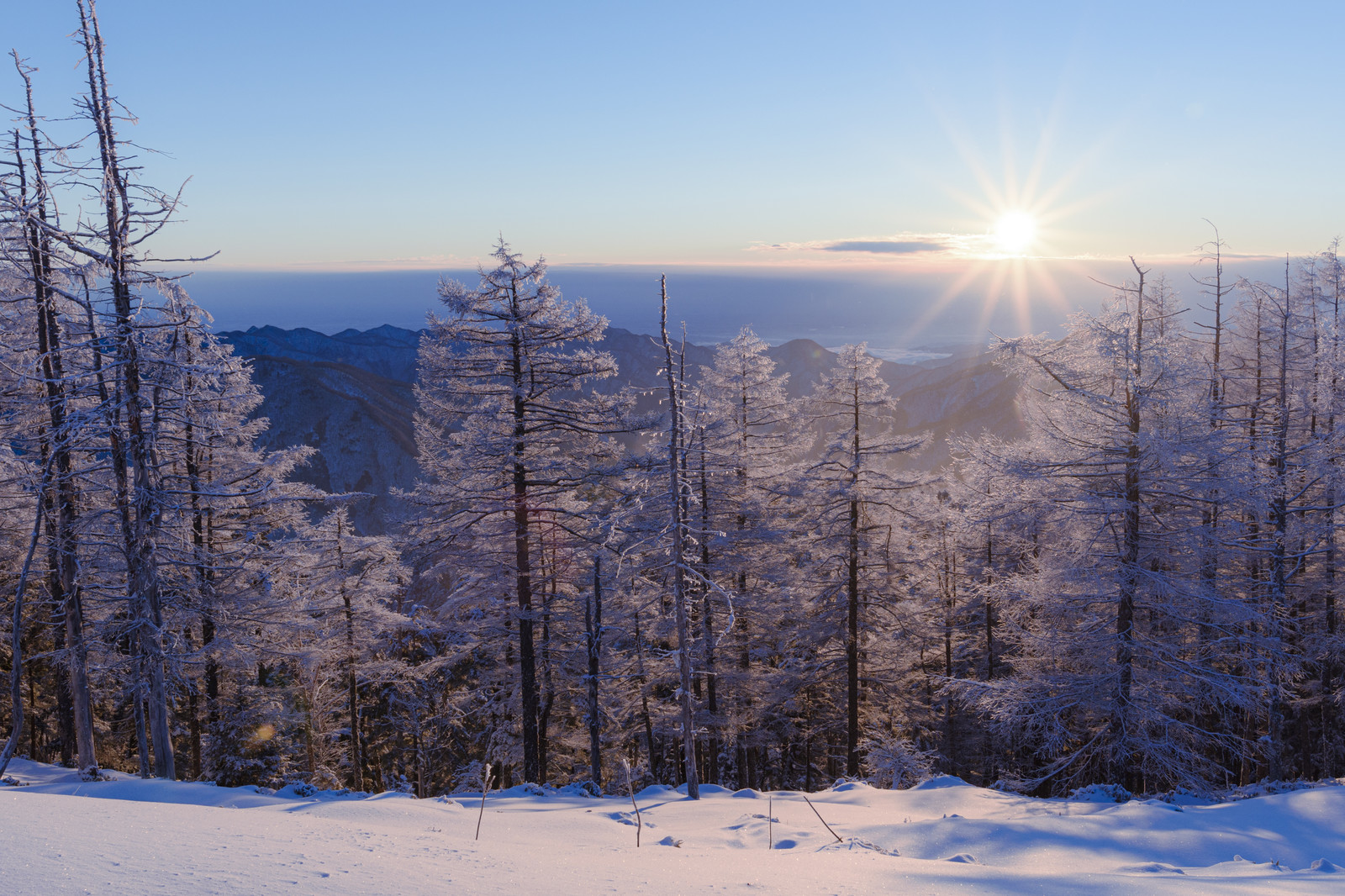 「朝の光を受ける唐松の霧氷(雲取山)」の写真
