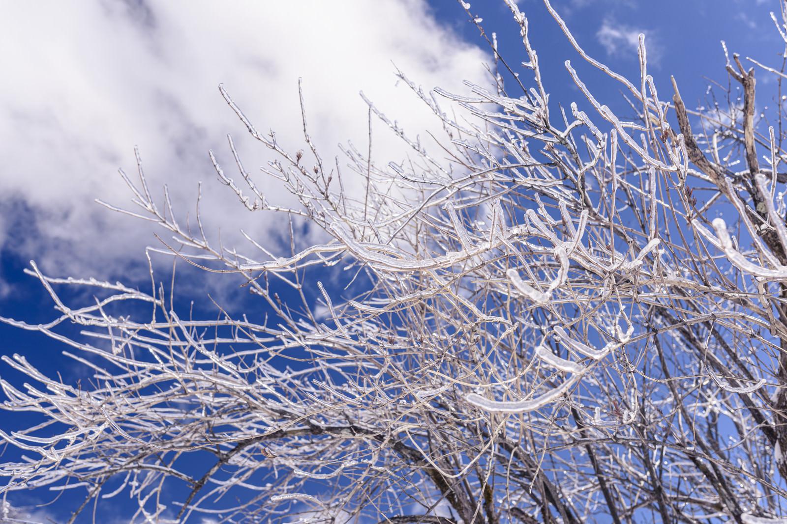 「枝一つ一つが凍った木(雲取山)」の写真