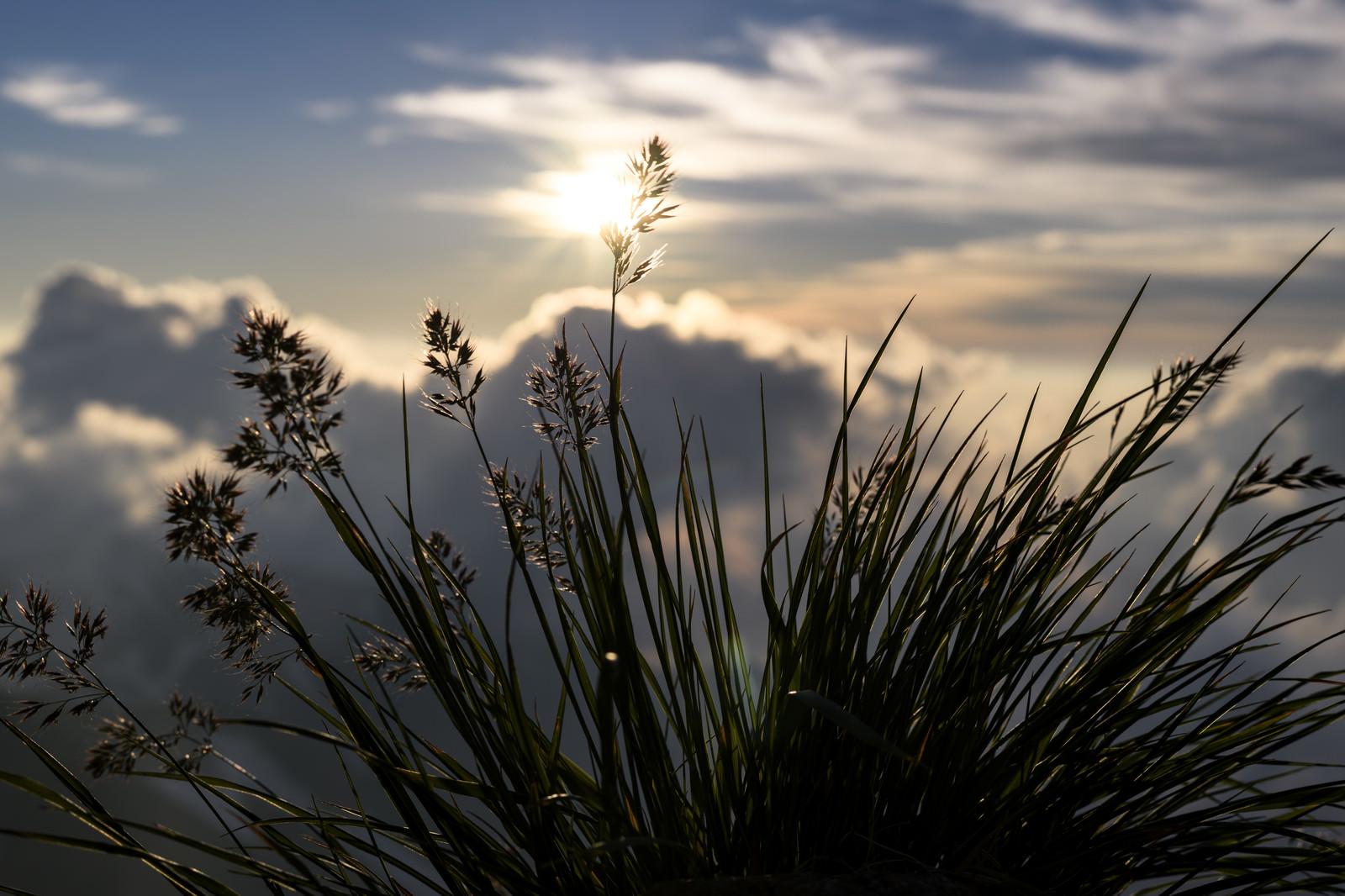 「夕日に揺れる足元の花(白馬岳)」の写真