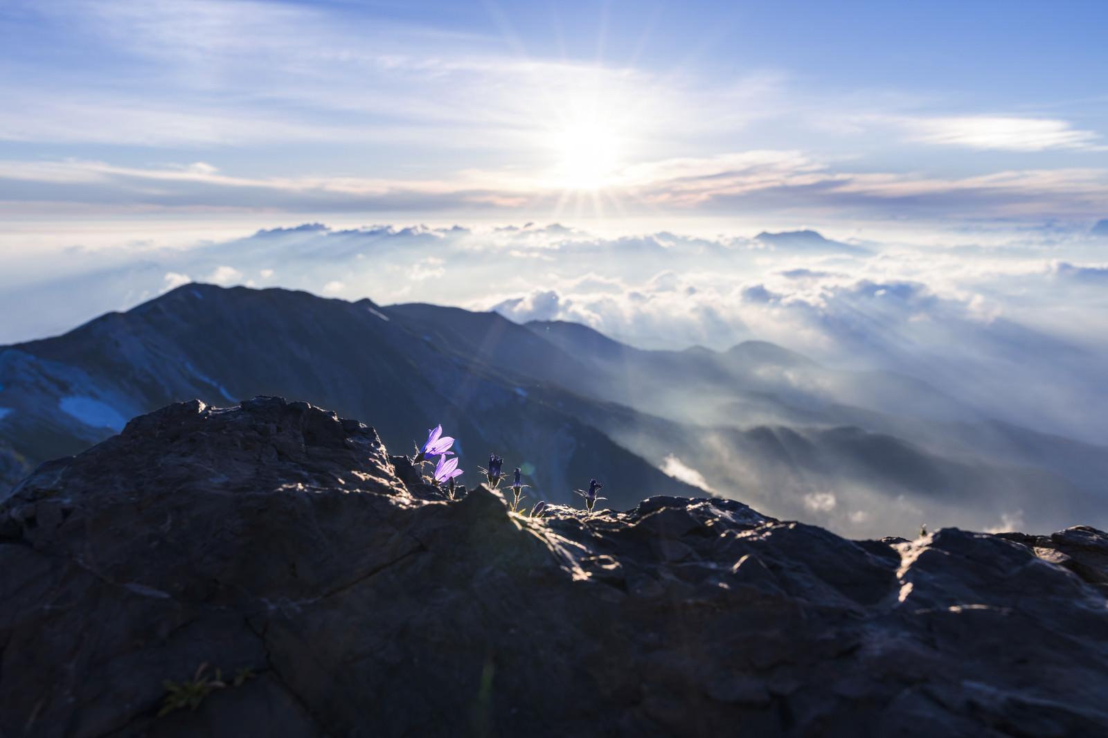 「朝日に輝く空とチシマギキョウ(白馬岳)」の写真