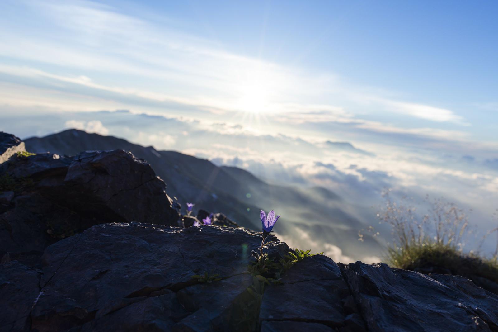 「白馬岳朝日とチシマギキョウ(高山植物)」の写真