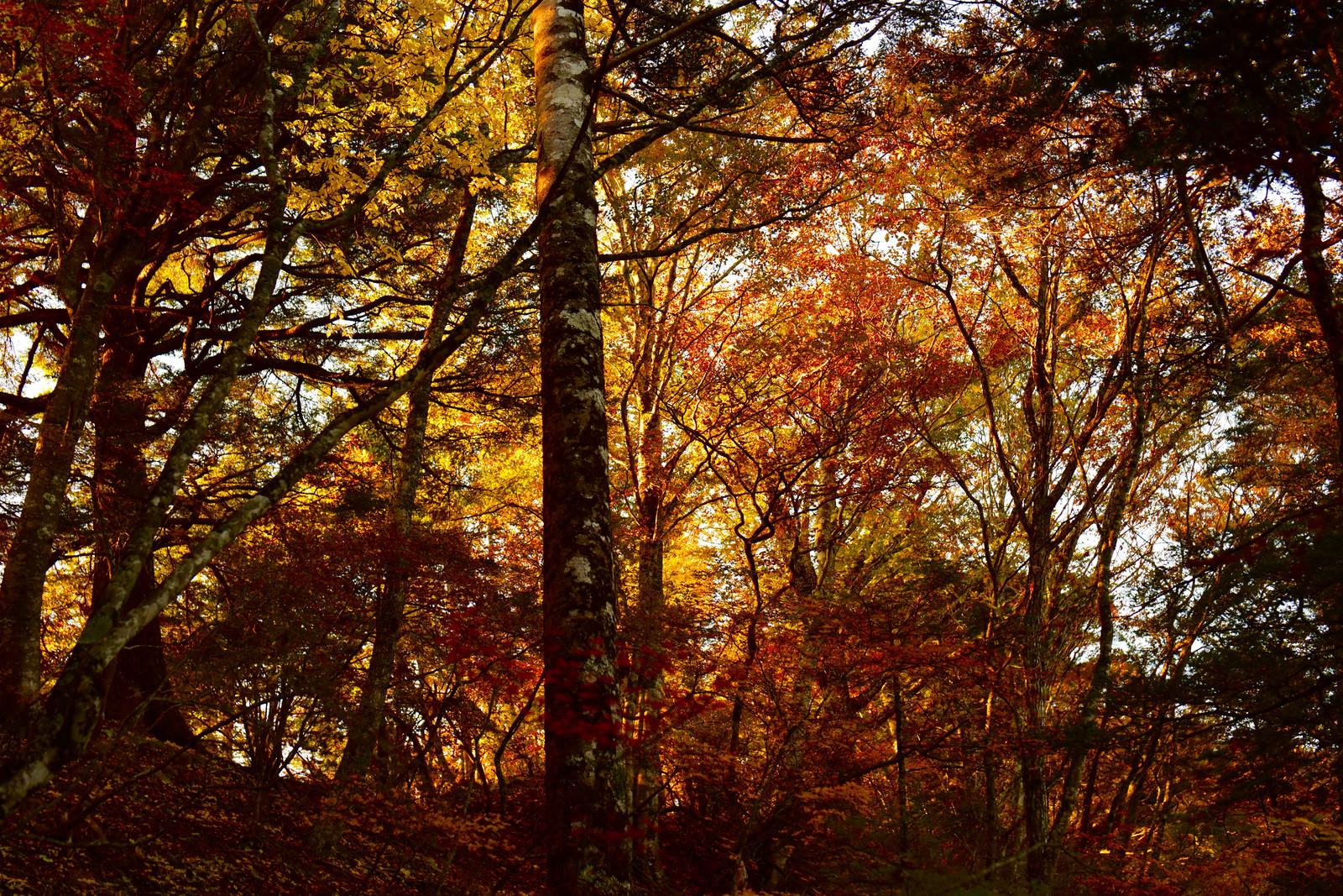 「朝日で燃える紅葉の森(甲斐駒ヶ岳)」の写真