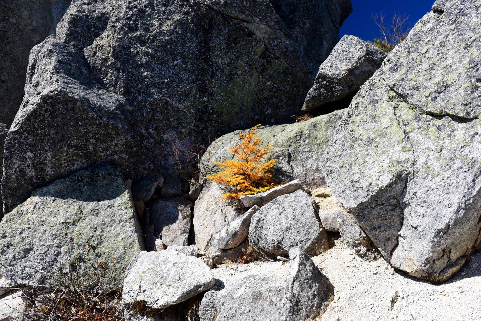 「岩と岩の間で紅葉する小さな唐松(甲斐駒ヶ岳)」の写真