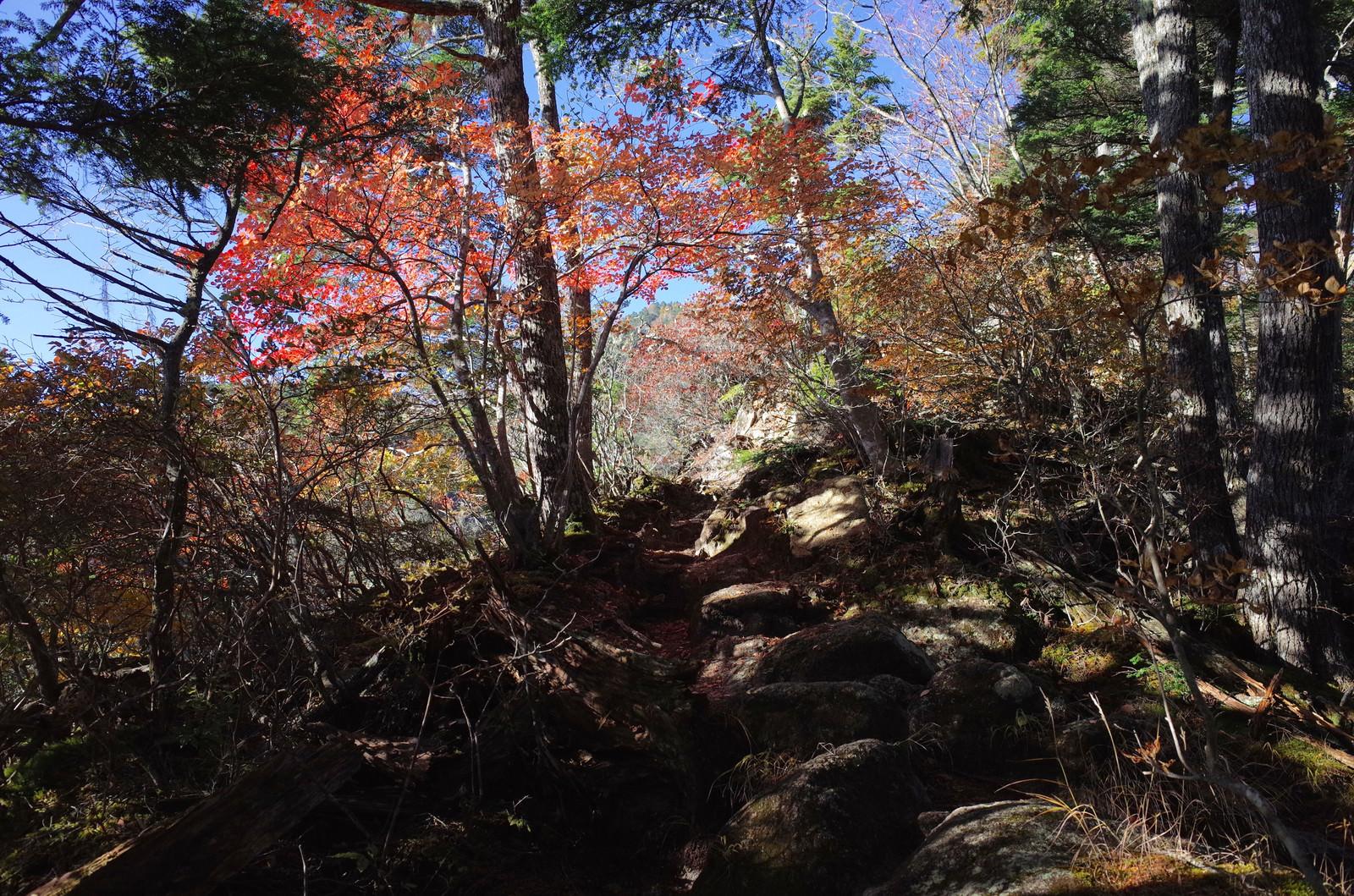 「紅葉の木漏れ日が気持ち良い甲斐駒ヶ岳登山道」の写真