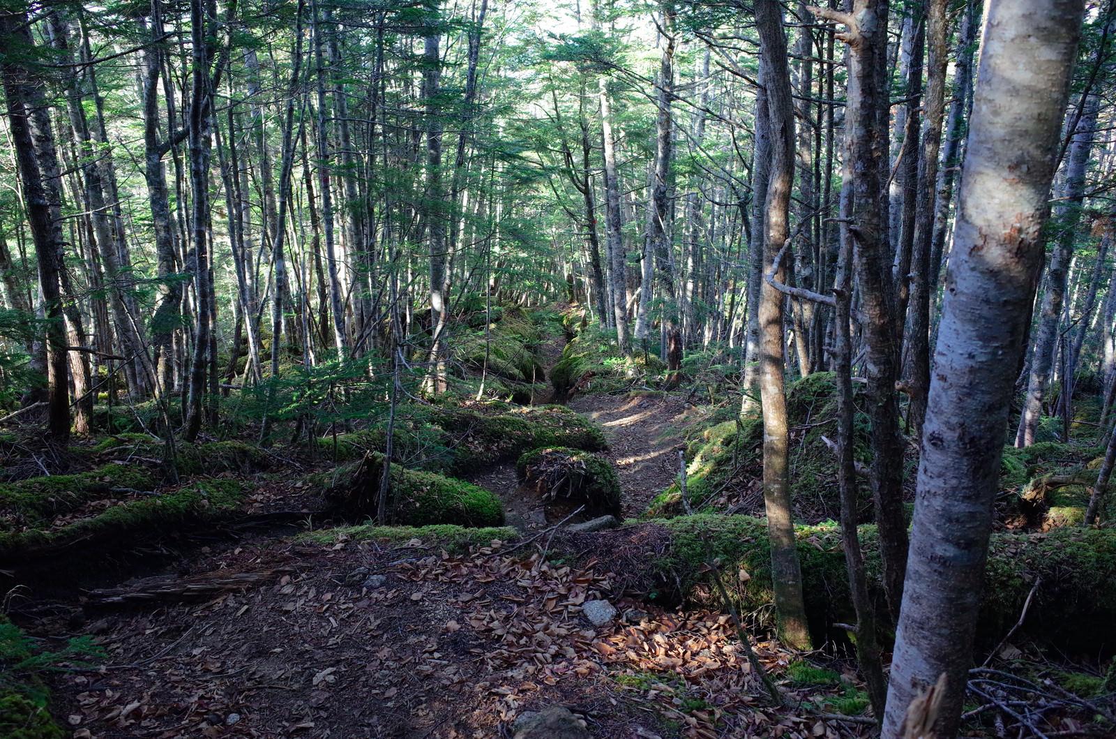 「落ち葉と苔が気持ち良いシラビソ林の登山道(甲斐駒ヶ岳)」の写真
