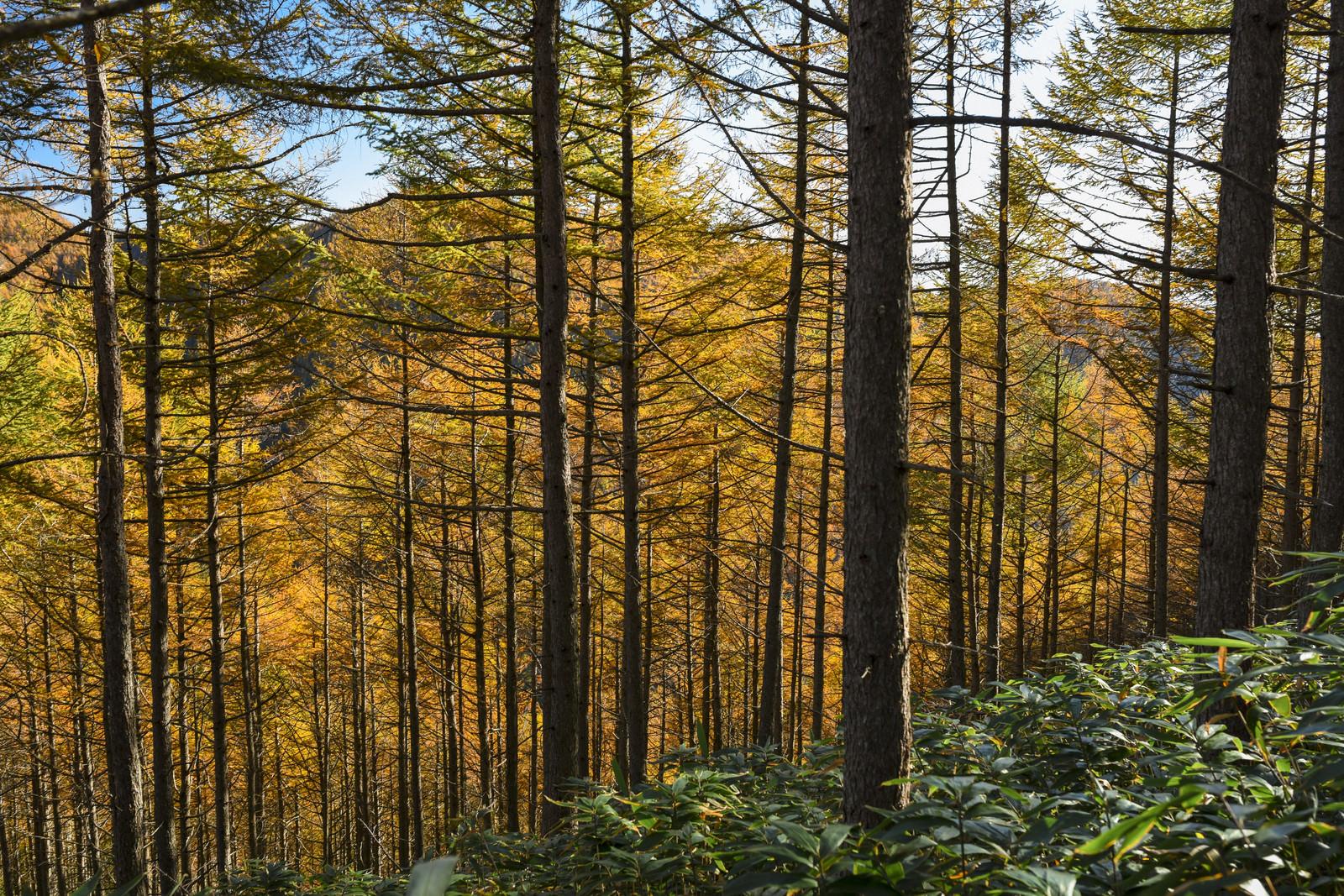 「唐松紅葉で黄色に染まる恵那山の中腹」の写真