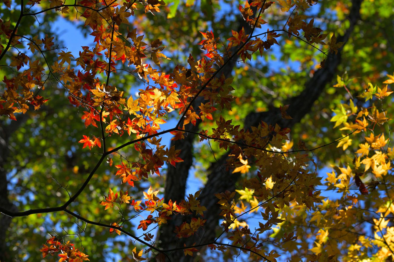 「3色に分かれた秋の紅葉」の写真