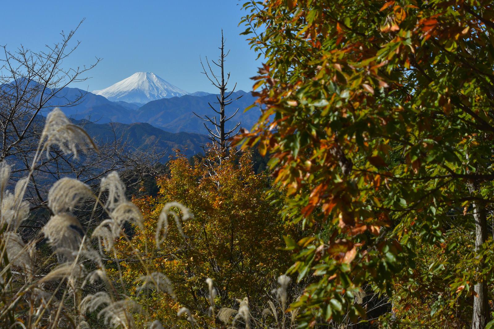 「紅葉した木々から望む初冬の富士山」の写真