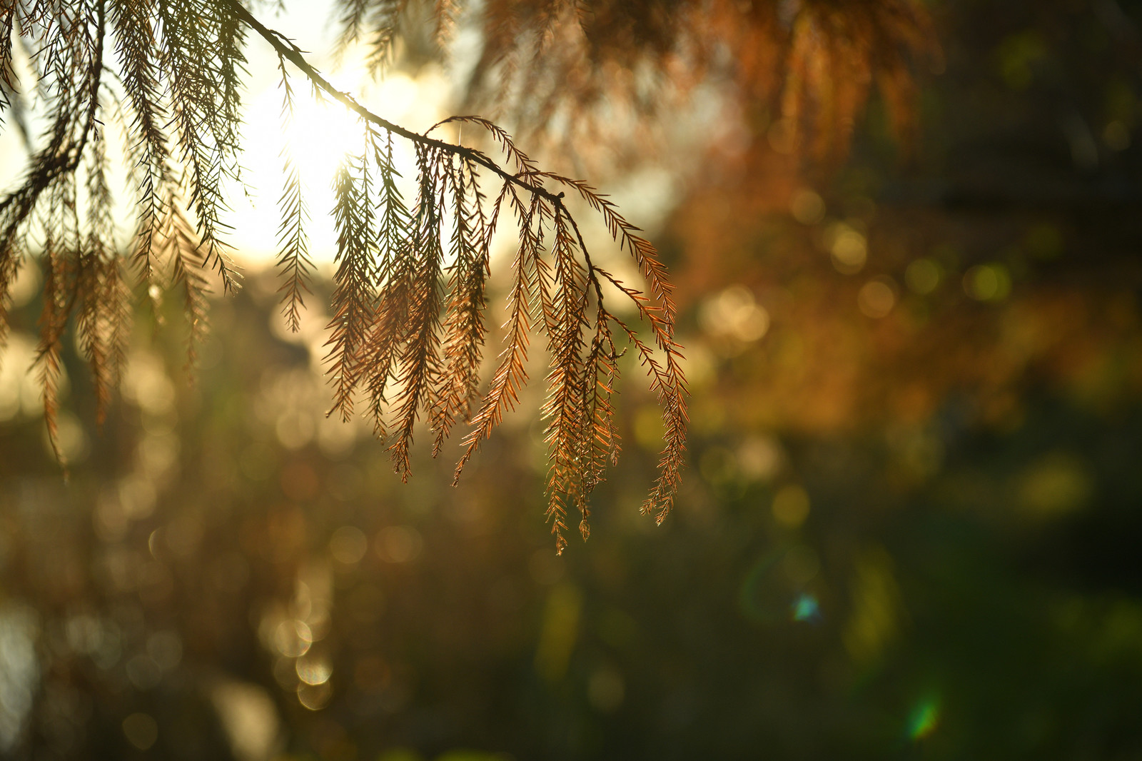 「夕日を浴びる松の葉」の写真