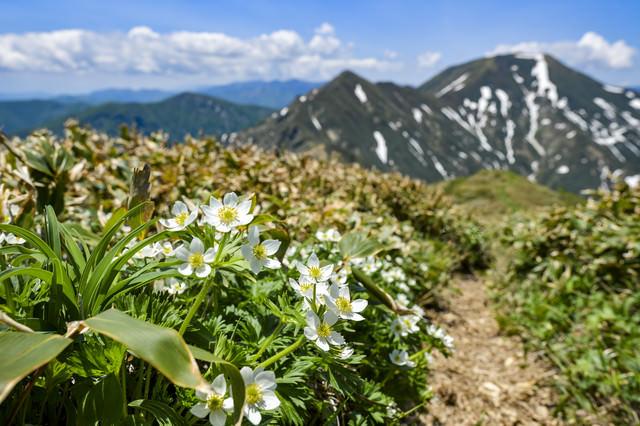 ハクサンイチゲに彩られた登山道(谷川岳)の写真
