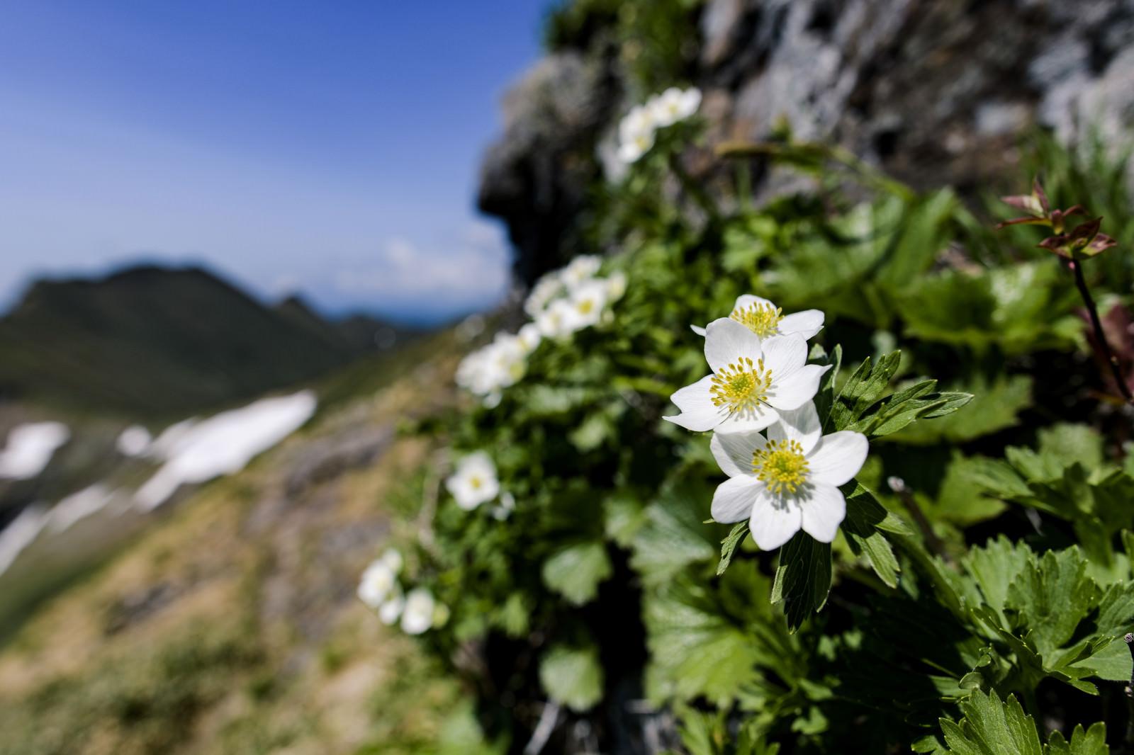 「登山道に咲くハクサンイチゲ(谷川岳)」の写真