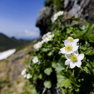 登山道に咲くハクサンイチゲ(谷川岳)の写真