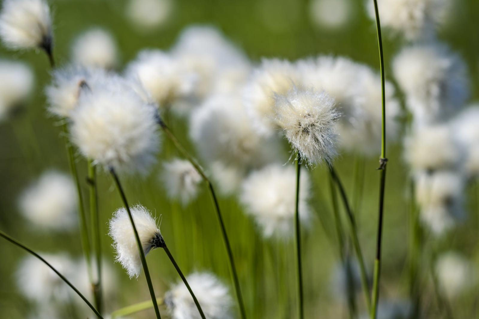 「浄土平の初夏を彩るワタスゲ」の写真