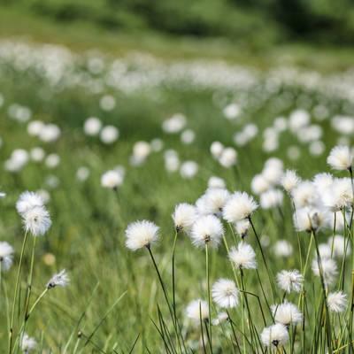 吾妻連峰に咲き誇る綿菅(ワタスゲ)の写真