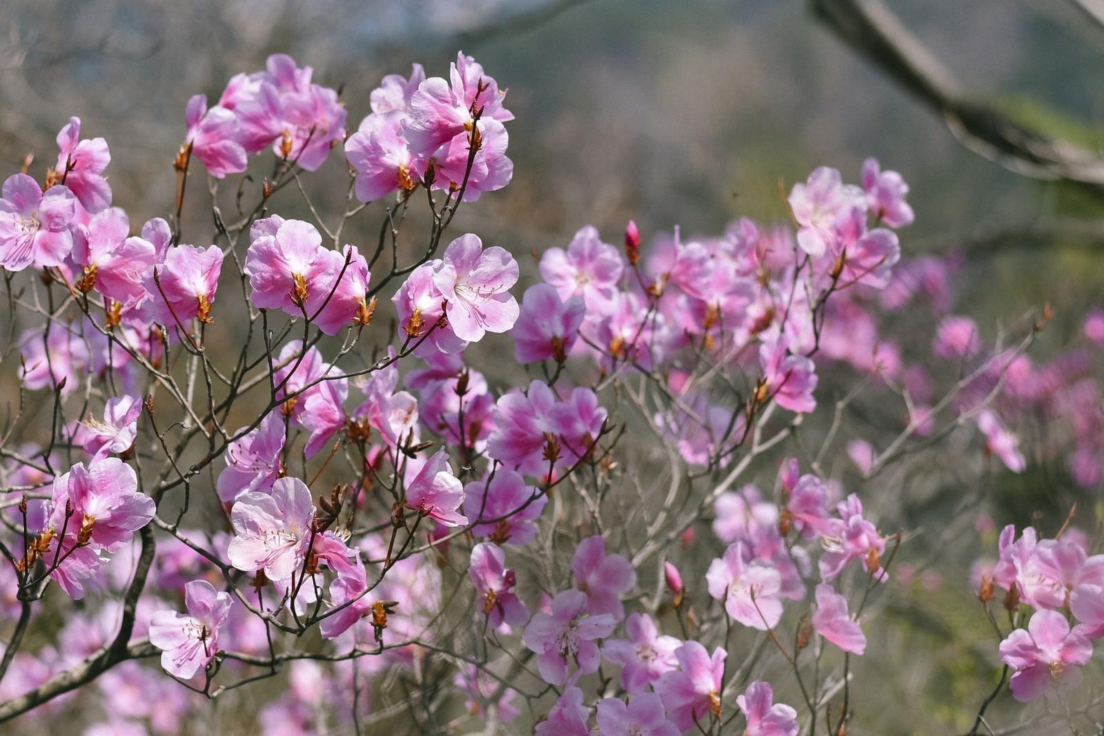 「アカヤシオツツジの花(赤八汐)」の写真