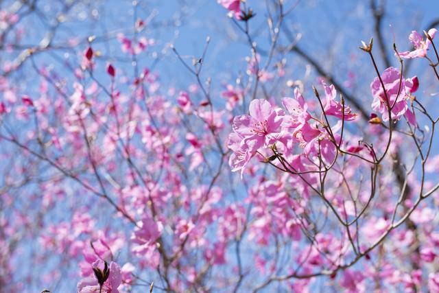 青空とアカヤシオ(赤八汐)の写真