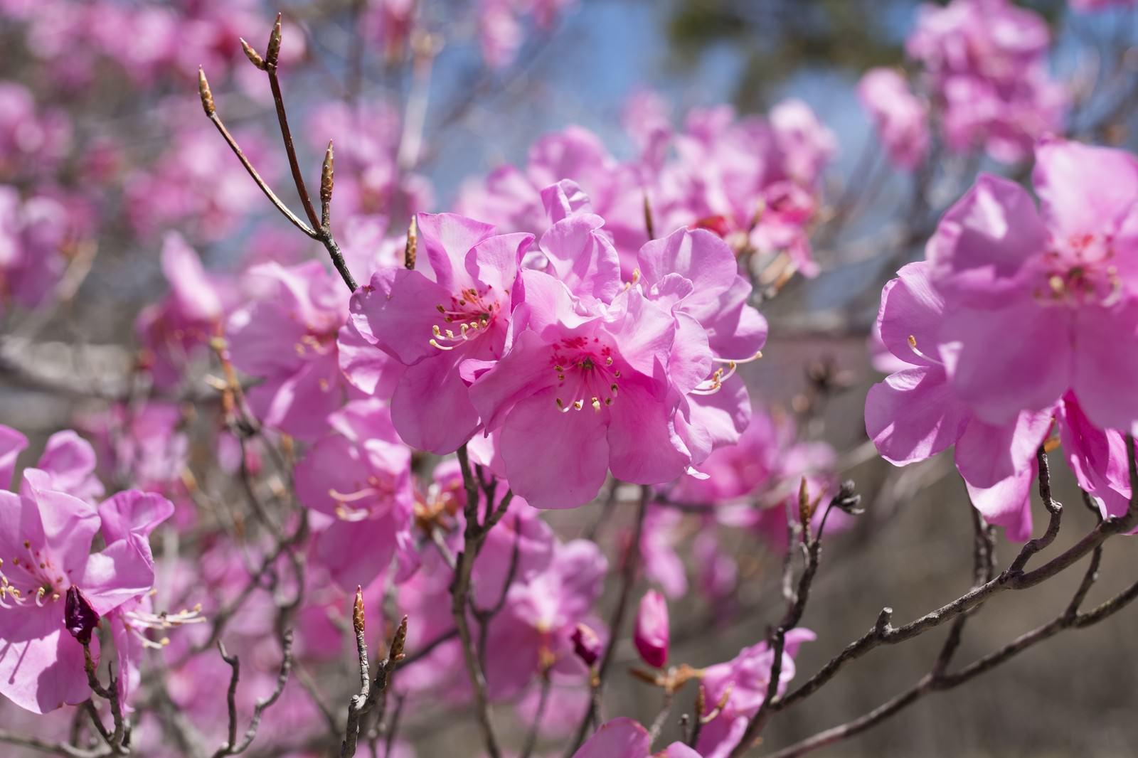 「栃木県の県花(アカヤシオツツジ)」の写真
