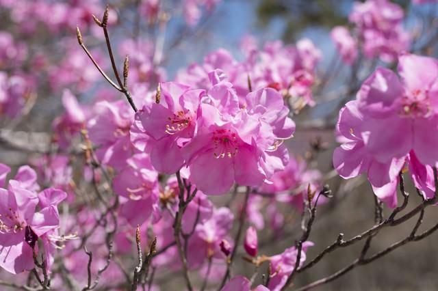 栃木県の県花(アカヤシオツツジ)の写真