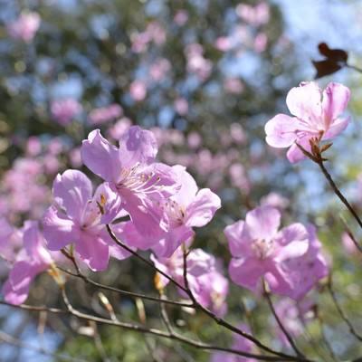 瑞々しいアカヤシオ(赤八汐)の写真