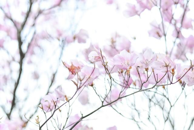 光に包まれたアカヤシオツツジの写真