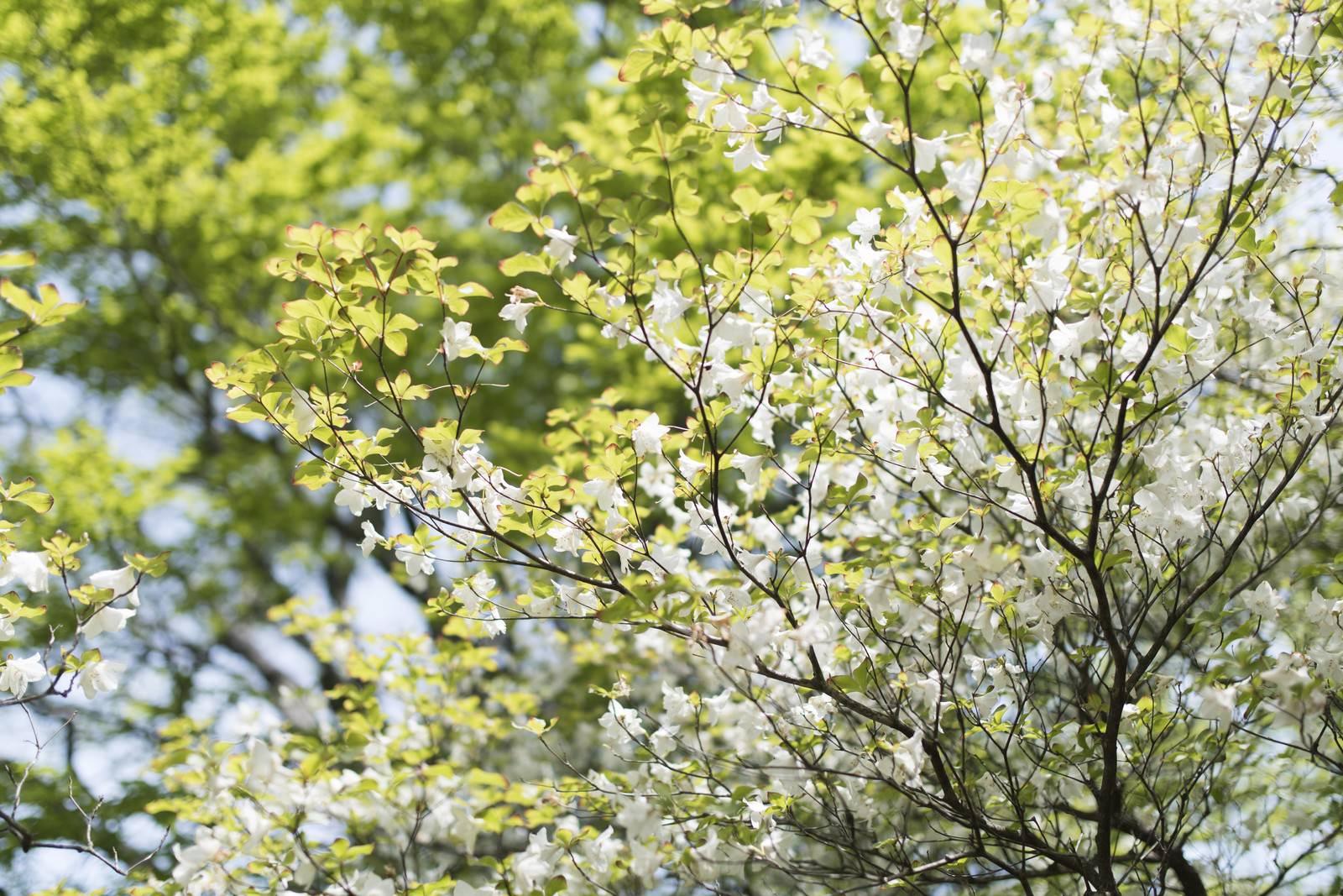 「丹沢に咲くシロヤシオツツジ(白八汐)」の写真