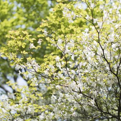 丹沢に咲くシロヤシオツツジ(白八汐)の写真