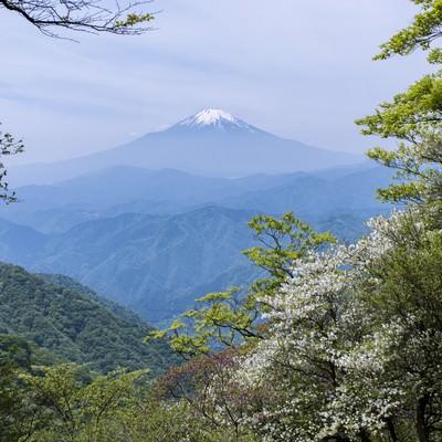 丹沢山中から見る富士山とシロヤシオの写真