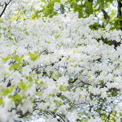 満開に咲くのシロヤシオ(白八汐)の写真
