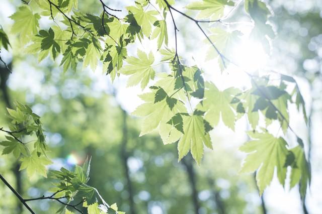 新緑を照らす陽射しともみじ(丹沢)の写真