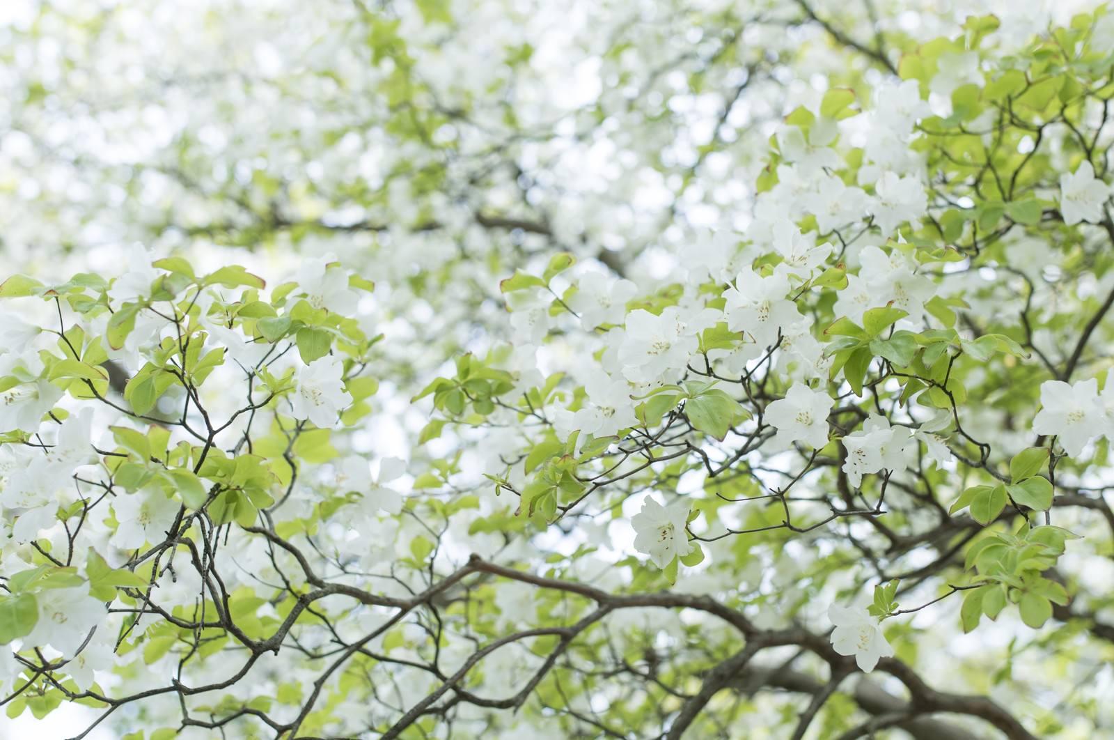 「山に自生するゴヨウツツジ(五洋躑躅)」の写真