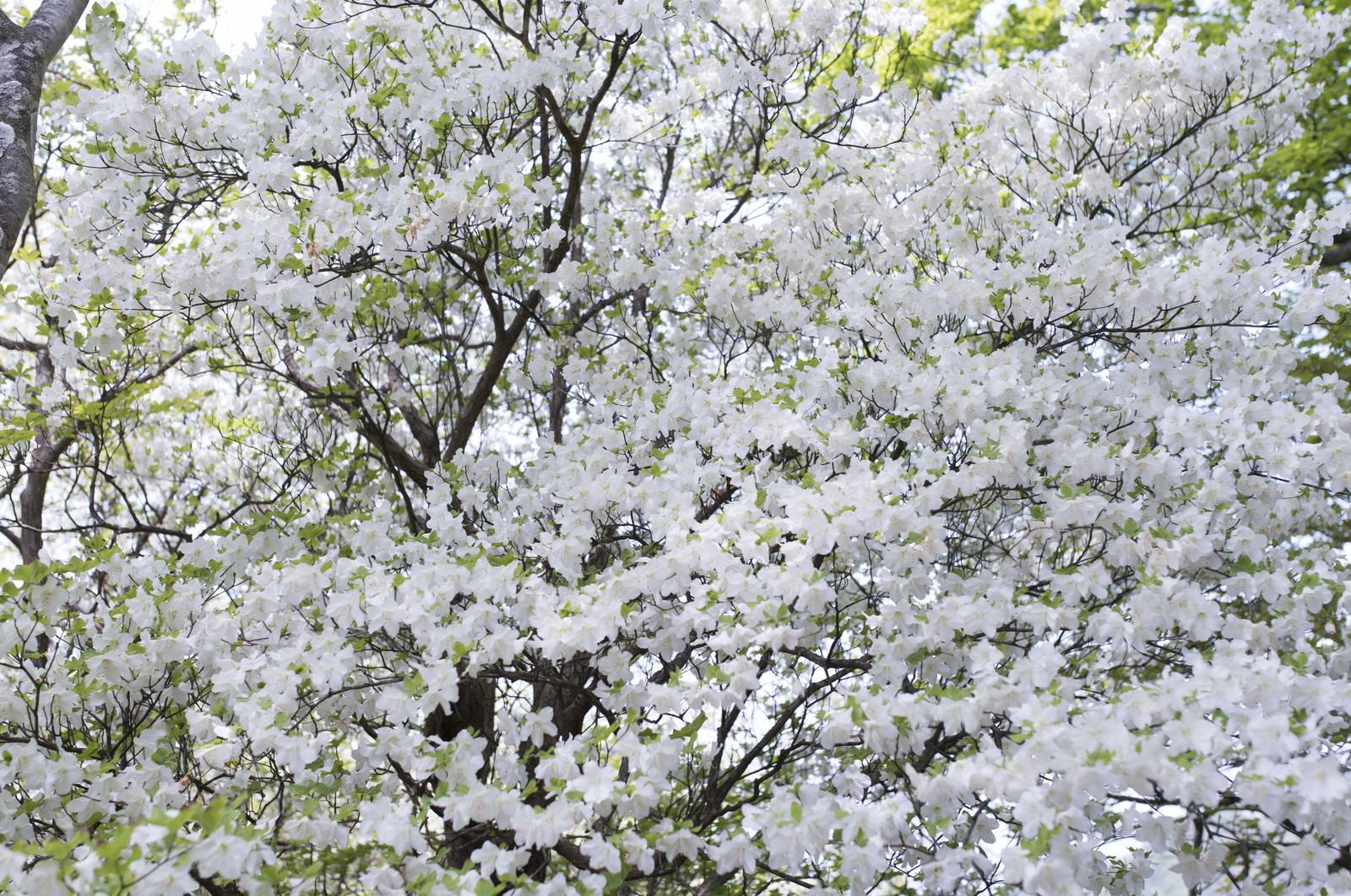 「木を埋め尽くす程、満開のシロヤシオツツジ(白八汐)」の写真