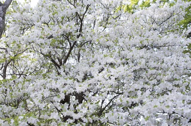 木を埋め尽くす程、満開のシロヤシオツツジ(白八汐)の写真