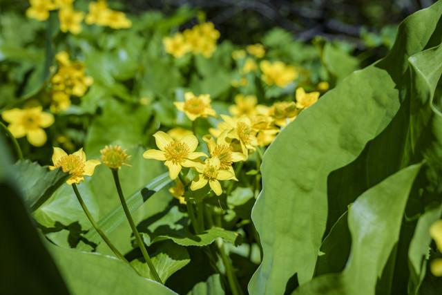 湿地に咲くリュウキンカ(立金花)の写真